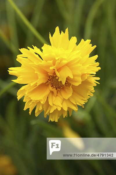 Großblumiges Mädchenauge (Coreopsis grandiflora)  Blüte