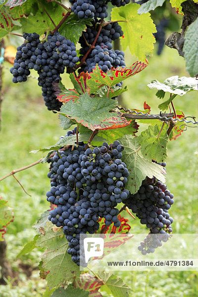 Trauben  Weinrebe (Vitis vinifera)  blaue Weinbeeren am Weinstock  Deutschland  Europa