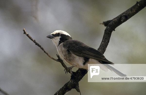 Rüppellwürger (Eurocephalus rueppelli)  Kenia  Afrika