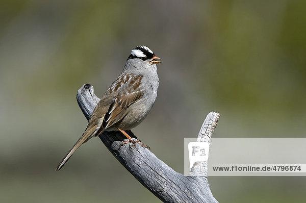 Dachsammer  White-crowned Sparrow (Zonotrichia leucophrys)  Yellowstone Nationalpark  Wyoming  USA  Nordamerika