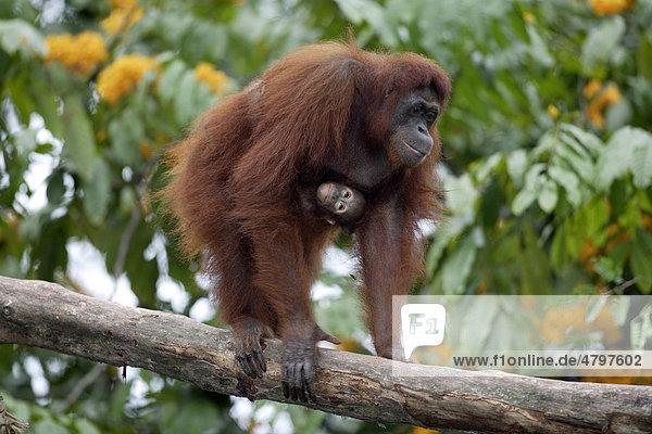Borneo Orangutan (Pongo pygmaeus)  female adult with young in a tree  Asia