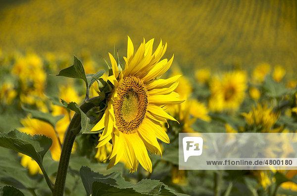 Feld mit Sonnenblumen (Helianthus annuus) in der Region Auvergne  Frankreich  Europa