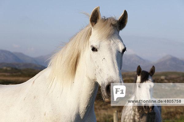 Portrait of a white horse  Connemara  County Galway  Republic of Ireland  Europe
