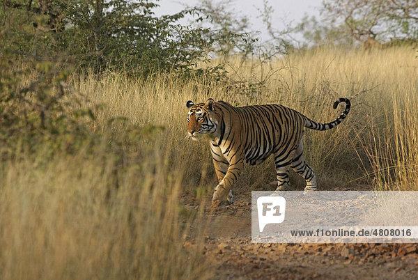 Tiger (Panthera tigris) geht durch hohes Gras  Ranthambore Nationalpark  Rajasthan  Indien  Asien