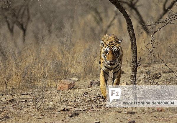 Tiger (Panthera tigris) in trockener Umgebung  Lebensraum  Ranthambhore National Park  Indien  Asien