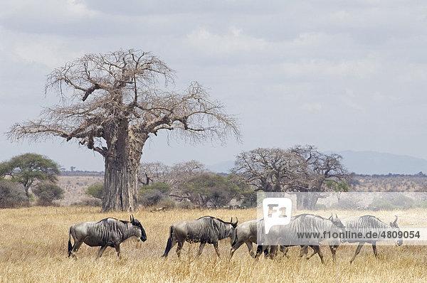 Gnus (Connochaetes taurinus) wandern  Tarangire-Nationalpark  Tansania  Afrika