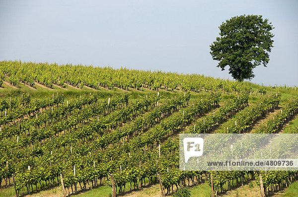 Weinberg von Monbazillac  Aquitaine  Frankreich  Europa