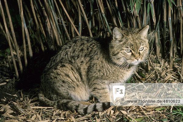 Asiatische Wildkatze oder Steppenkatze (Felis silvestris ornata), Männchen, Pakistan, Südasien