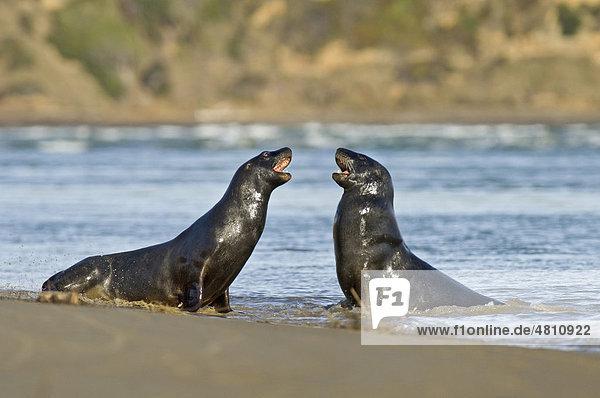 Neuseeländischer Seelöwe (Phocarctos hookeri)  zwei Jung-Männchen beim Kämpfen am Strand  Surat Bay  Catlins  Südinsel  Neuseeland