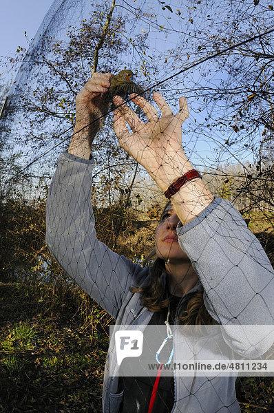 Rotkehlchen (Erithacus rubecula), Altvogel verfangen in einem Japannetz, von einem Biologen für eine Vogel-Erfassung gefangen, Italien, Europa