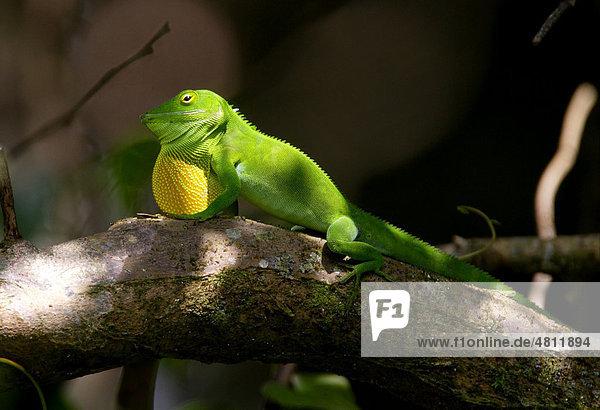Jamaika Anolis (Anolis garmani)  ausgewachsenes Männchen  bei der Balz  beim Zeigen des Kehlsacks  Marshall's Pen  Jamaika  Karibik