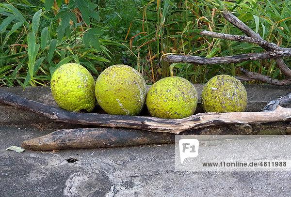 Brotfrucht (Artocarpus communis)  geerntete Früchte beim Trocknen  Jamaika  Karibik