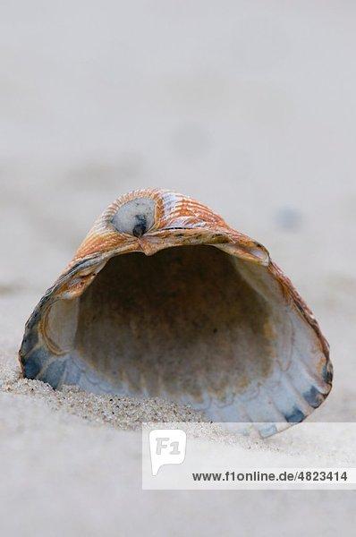 Deutschland  Nordsee  Amrum  Muschel auf Sand  Nahaufnahme