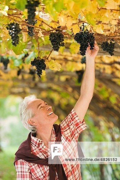 Italien  Südtirol  Älterer Mann beim Betrachten von Trauben an der Weinrebe