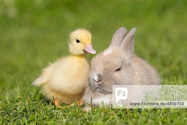 Kaninchen und Entenküken auf Gras