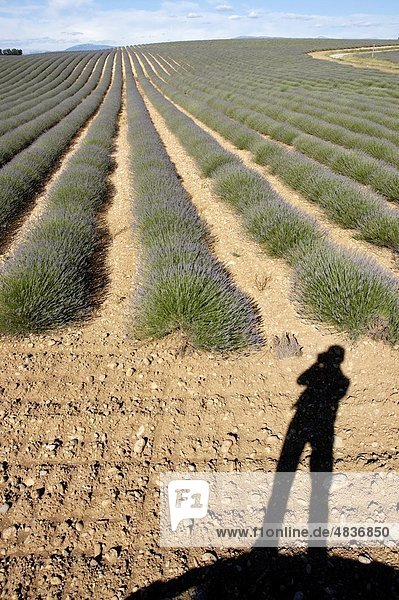 Shadow of the photographer at the edge of a lavender crop about to flower in spring