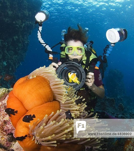 Underwater photographer photographing Red Sea clownfish  with sea anemone  blue background  Egyptian Red Sea 30_9_07