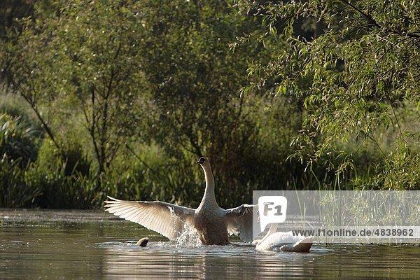 Höckerschwan  Cygnus olor  Gegenlicht  Mit den Flügeln schlagen  flattern  Flügelschlag  Großbritannien  Erwachsener  Bristol  Teich