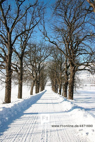 avenue with chestnut trees in winter