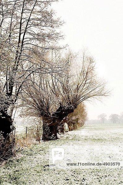 Weidenbaum  salix  Weide  Schnee Weidenbaum, salix, Weide ,Schnee