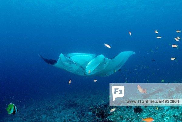 Manta  Manta birostris  Indian Ocean  Maldives Island