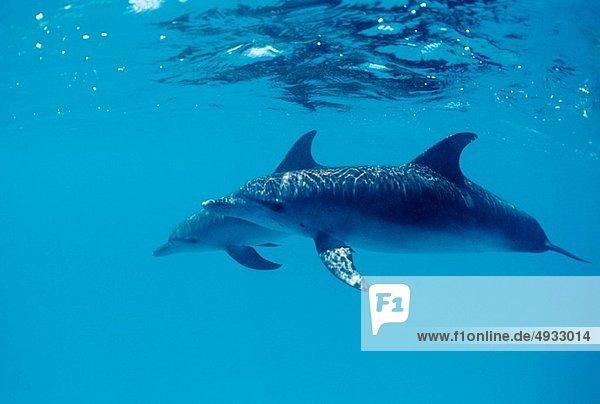 Atlantischer Fleckendelfin  Zügeldelfin  Stenella frontalis  Atlantischer Ozean  Atlantik  Bahamas  Karibisches Meer