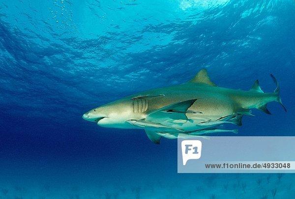 Zitronenhai  Negaprion brevirostris  Atlantischer Ozean  Atlantik  Bahamas  Karibisches Meer