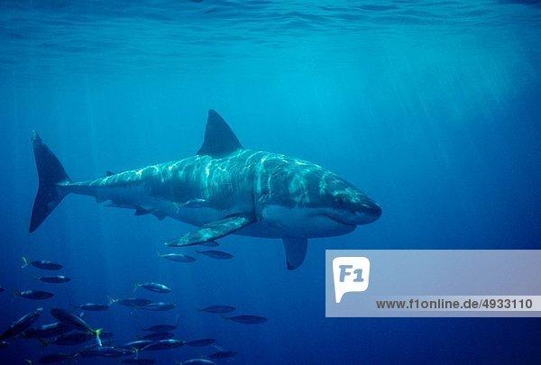Südliches Afrika  Südafrika  weißer Hai  Carcharodon carcharias  weiße Haie  Weißhai  Gansbaai  Gans Bay  Atlantischer Ozean  Atlantik