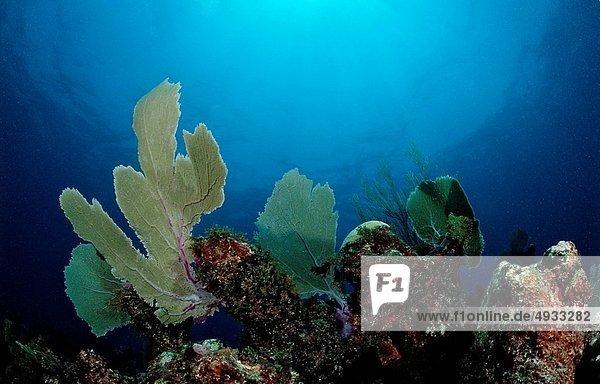 Caribbean Coral Reef  Punta Cana  Caribbean Sea  Dominican Republic