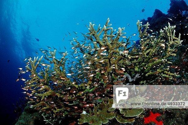 Coral Fishes at Coral Reef  Pempheris  Indian Ocean  Maldives