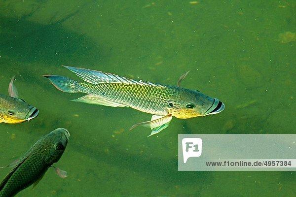 Wasser  Teich  Fisch  Pisces  Indien  Maharashtra