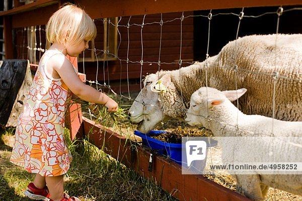 Blonde Mädchen Fütterung Schafe Blonde Mädchen Fütterung Schafe