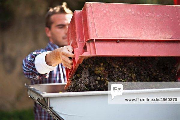 Croatia  Baranja  Young man harvesting grapes Croatia, Baranja, Young man harvesting grapes