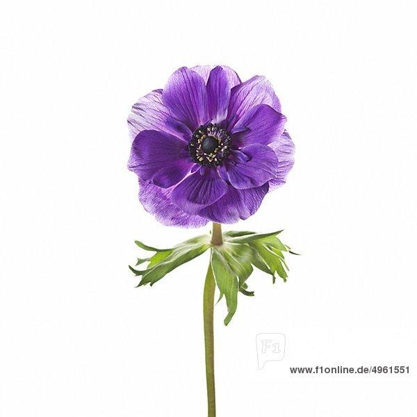 Purpurrote Blume vor weißen Hintergrund, Nahaufnahme - Johner ...