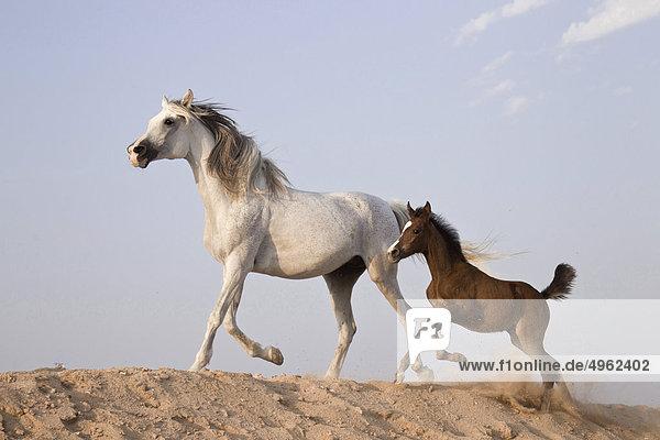 Araber und Fohlen im Sand Araber und Fohlen im Sand
