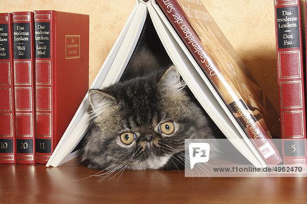 junge Perserkatze unter Buch