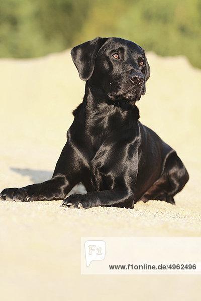 Labrador Retriever - liegend im Sand