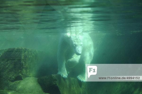 Eisbär (Ursus maritimus) unter Wasser