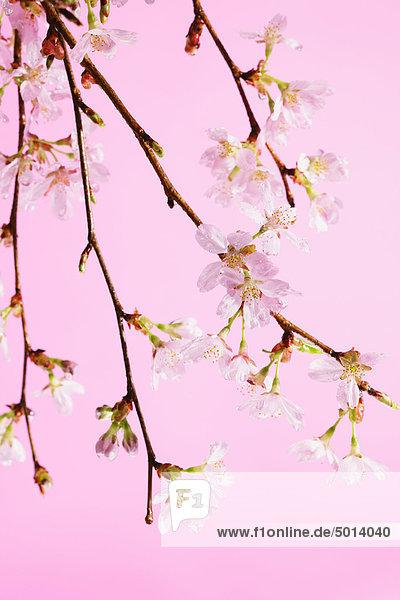 Japanischen Text mit Cherry blossom