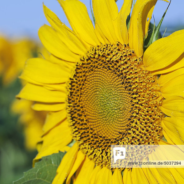 Close-up of sunflower head near Winnipeg  Manitoba  Canada
