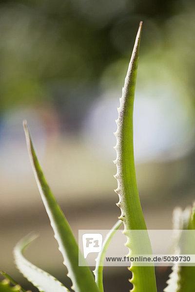 Nahaufnahme einer Aloe-Pflanze