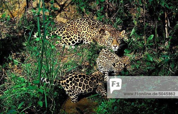 JAGUAR panthera onca  FEMELLE WITH CUB