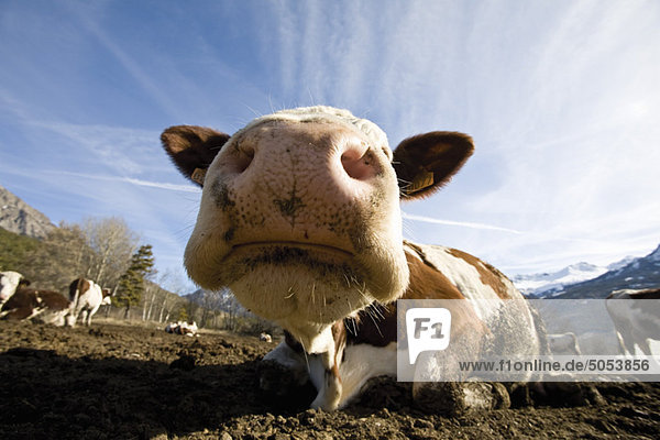 Cow's snout  close-up
