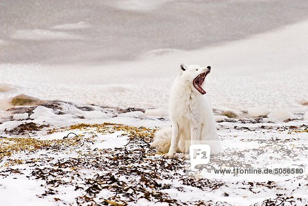 Polarfuchs (Alopex Lagopus / Vulpes Lagopus)  Churchill  Manitoba  Kanada.