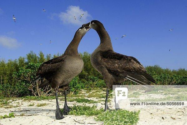 Adult schwarz – Schwarzfuß Albatrosse (Diomedea Nigripes) wirbt  Midway Atoll  Hawaii
