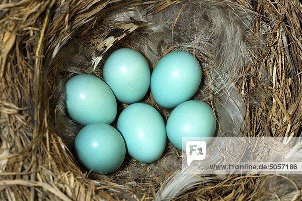Mountain bluebird (Sialia currucoides) eggs  southern Okanagan Valley  Britsih Columbia