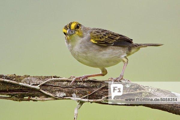 Gelbbrauen-Sparrow (Ammodramus Aurifrons) thront auf einem Zweig in der Nähe von Podocarpus Nationalpark im Südosten Ecuadors.