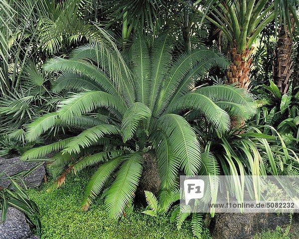 Cycas Circinalis  ein Palmfarnen  eine der ältesten Anlagen in der Welt