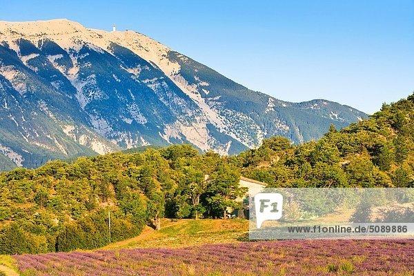 Frankreich  Europa  Hintergrund  Feld  Provence - Alpes-Cote d Azur  Lavendel