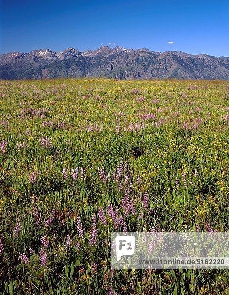 Vereinigte Staaten von Amerika  USA  entfernt  Berg  blühen  Wildblume  Seitenansicht  7  sieben  Lupine  Schlucht  Idaho  Oregon